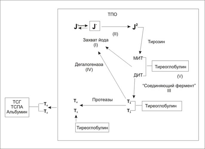 Схема биосинтеза гормонов