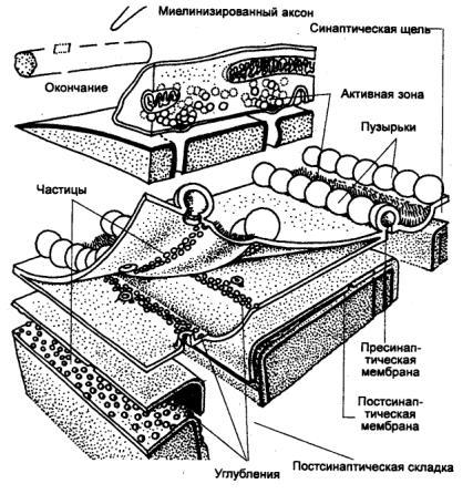 нервно—мышечного синапса
