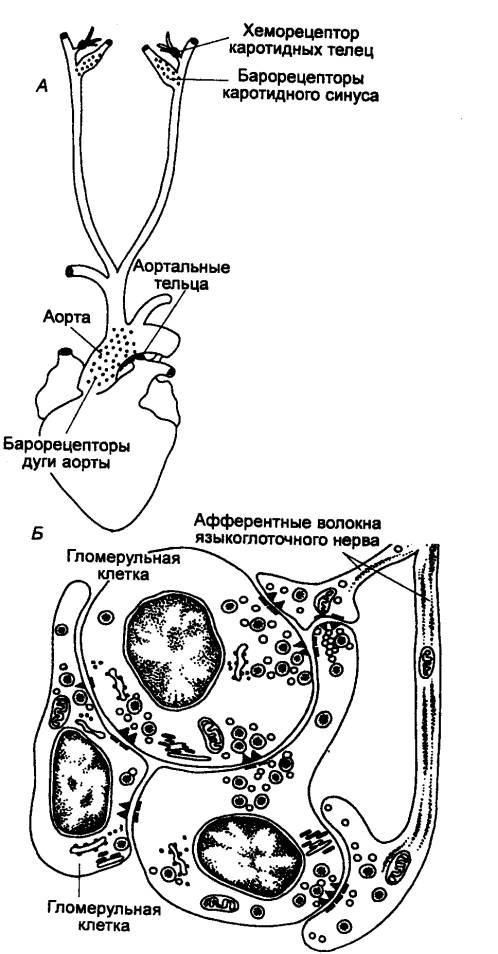 Хеморецептор