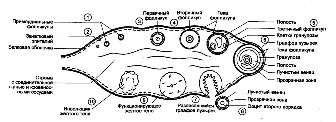Рис. 14.8 Схема яичника