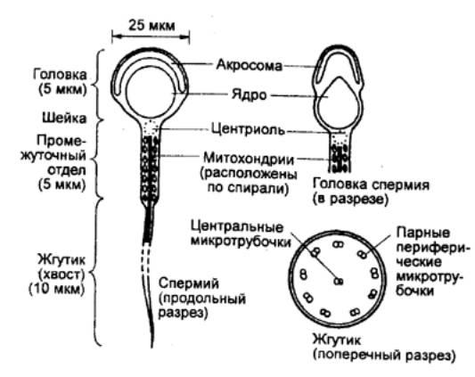 способ предохранения спермиев: