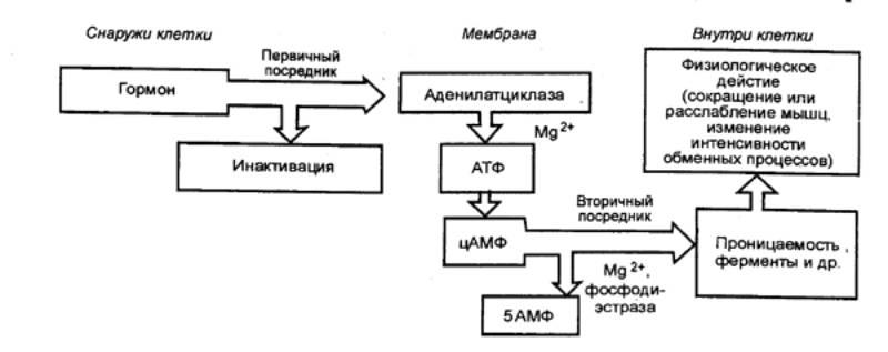 Рис. 2.3 Механизм действия