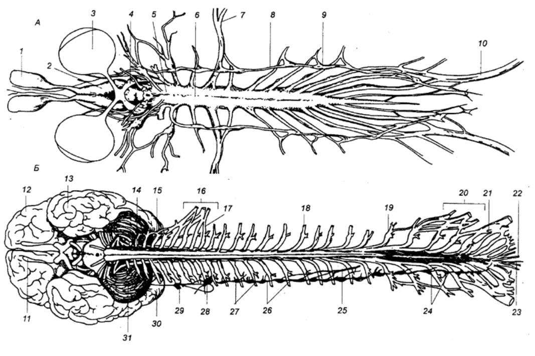 Рис. 3.5 Спинной мозг лягушки