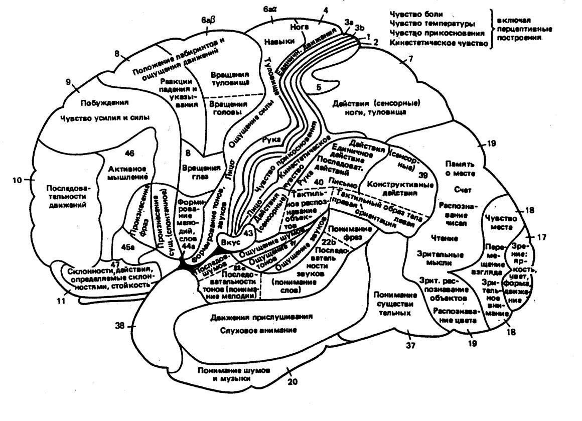 Область коры головного мозга двигательная фото