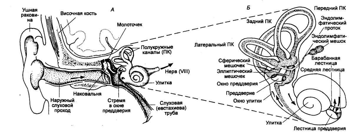 Рис. 4.29 Слуховая система