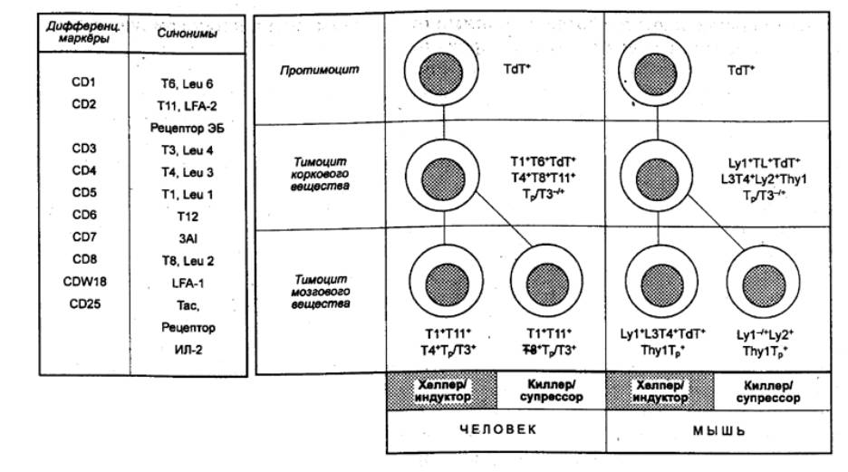 Т-Лимфоцит