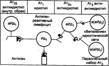 Взаимодействие антиидиотипических антител и антител
